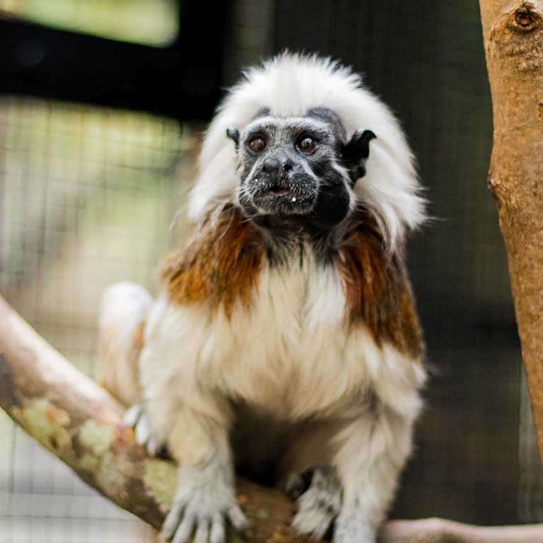 Cotton_Top_Tamarin_index_768x768.jpg