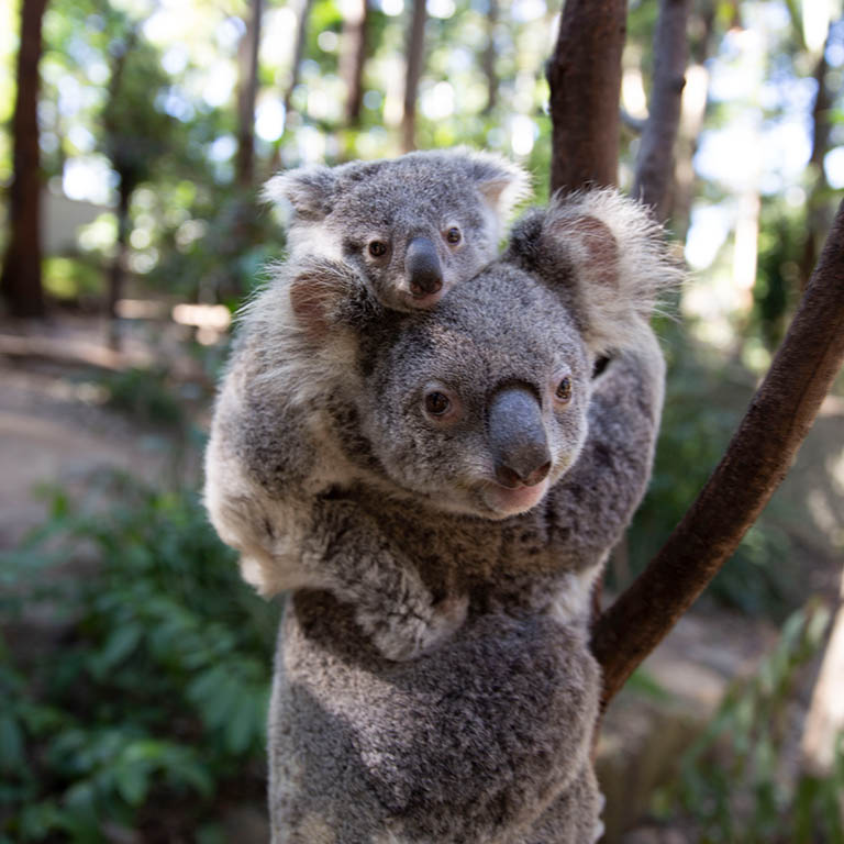 Cururmbin_Wildlife_Sanctuary_koala_768x768.jpg