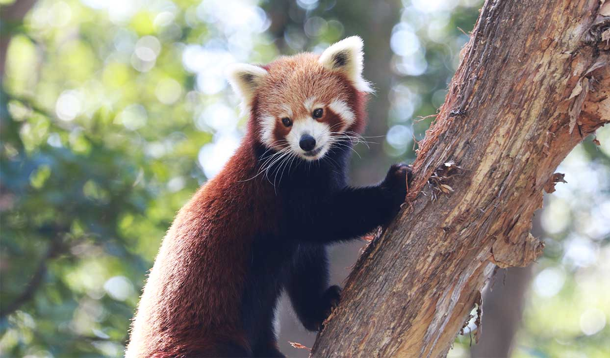 red_panda_1desktop_1244x730.jpg