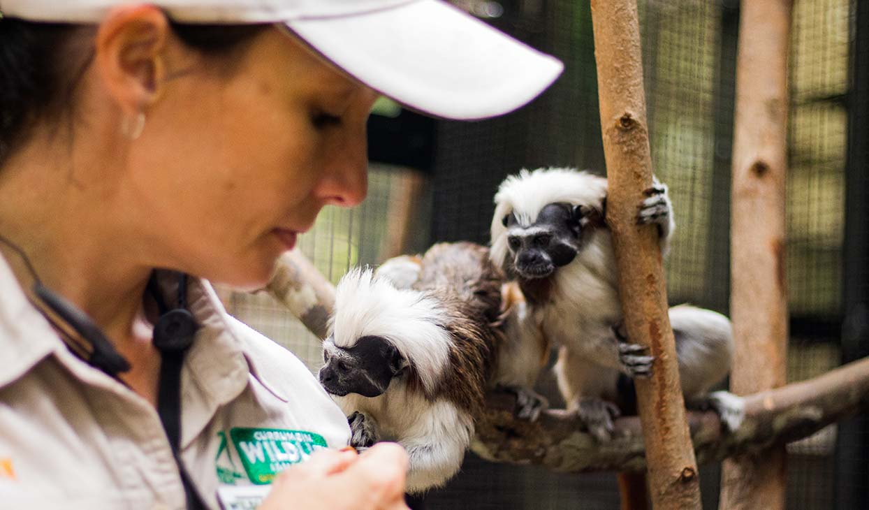 Cotton_Top_Tamarin_Encounter_Twins.jpg