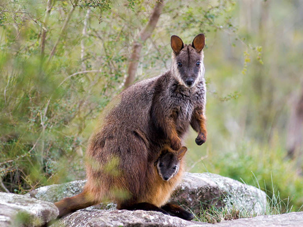 IMAGE__2_ROCK_WALLABY_mobile_1024x730.jpg