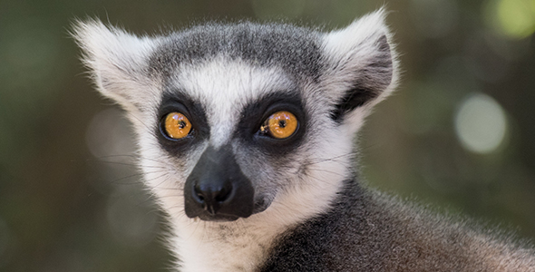 Lemur_Index_Blog_590_300.jpg