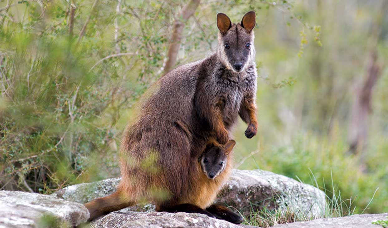 BRUSH-TAILED ROCK-WALLABY CONSERVATION
