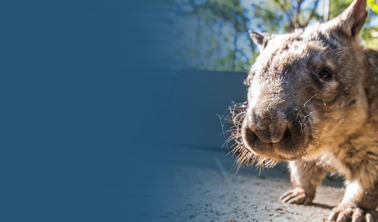 wombat-walk-desk.jpg