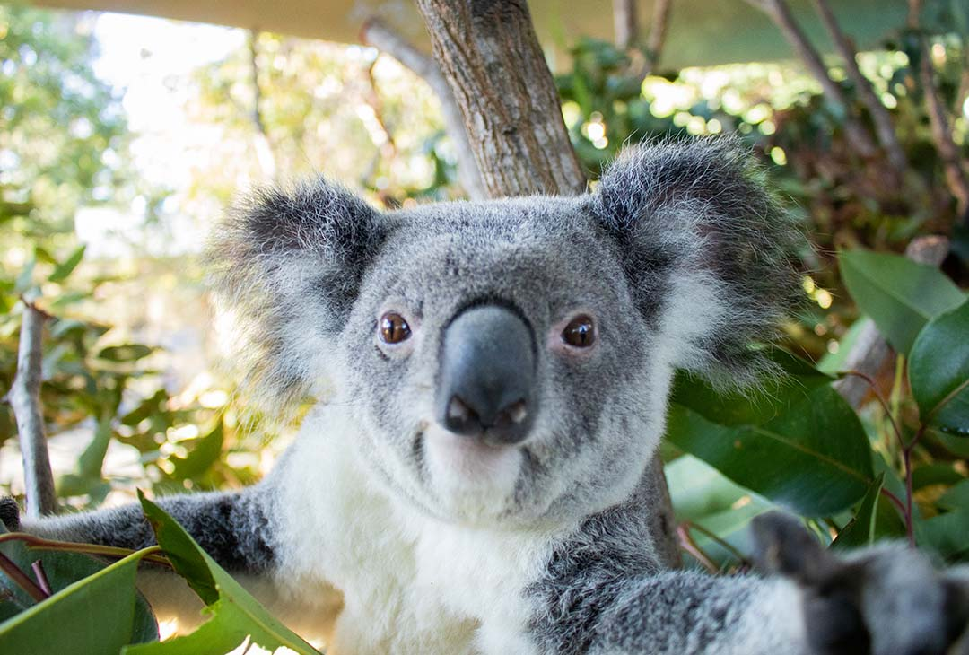 National Koala Month
