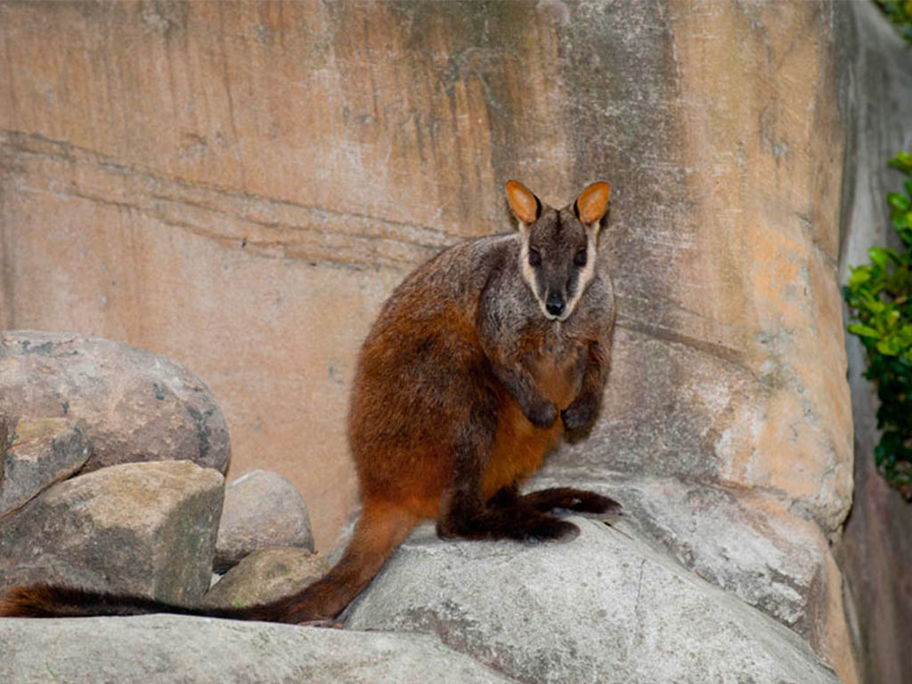 IMAGE__1_ROCK_WALLABY_mobile_1024x730.jpg