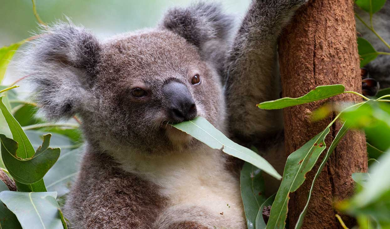 koala_eating_at_CWS_1244x730.jpg