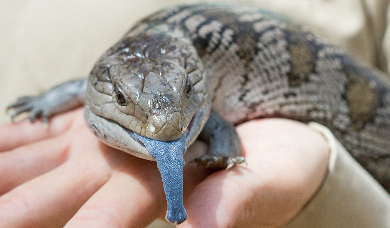 Blue_Tongue_1244_x_730.jpg