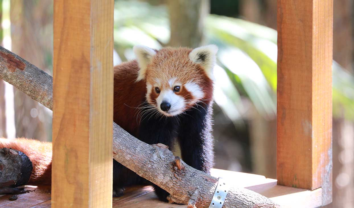 red_panda_desktop_1244x730.jpg