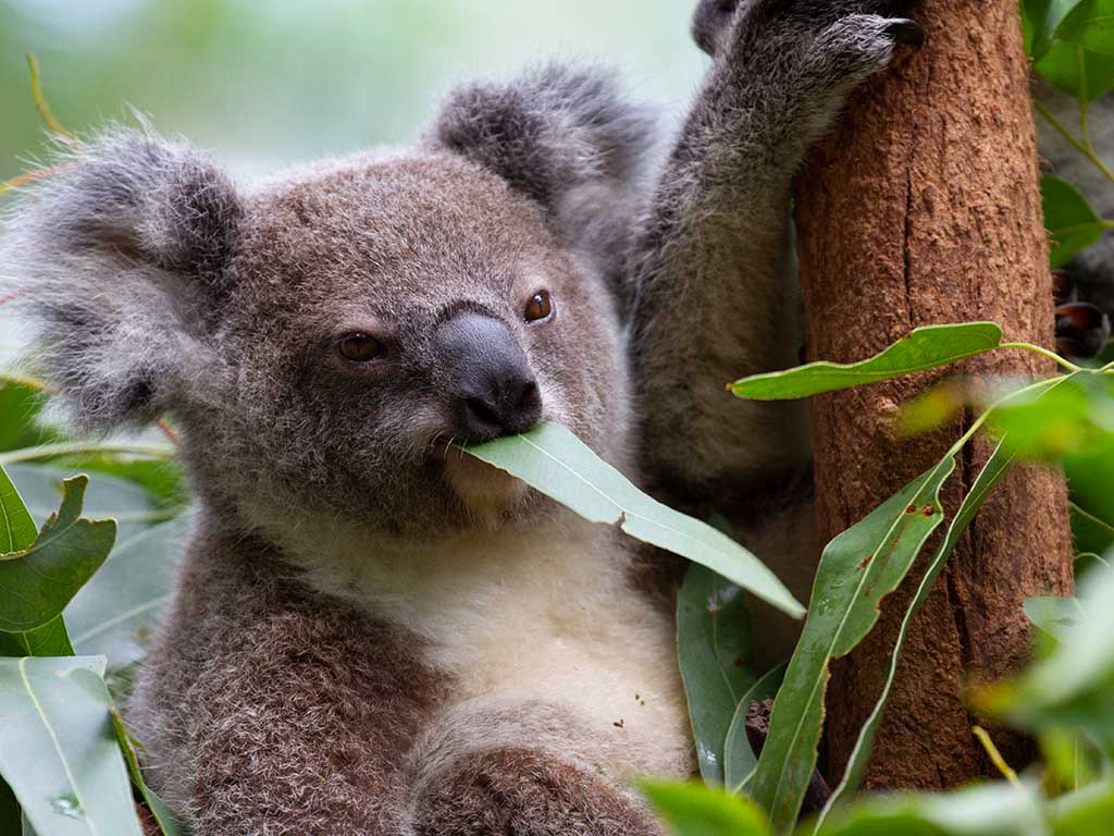 koala_eating_at_CWS_1024x768.jpg