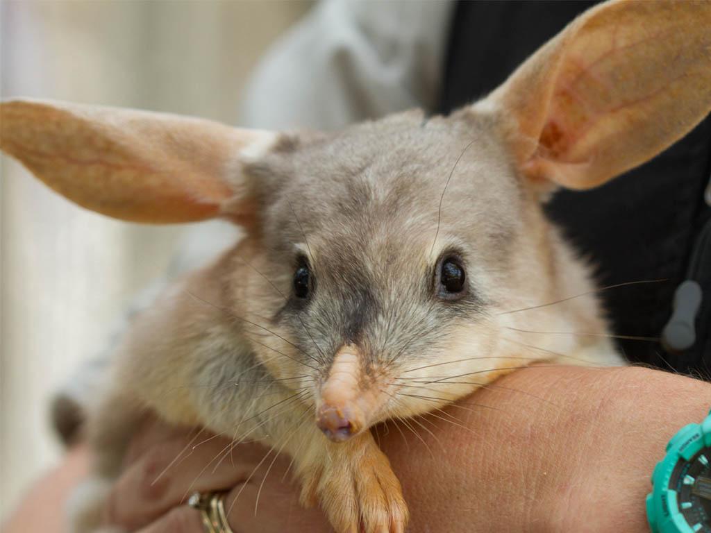 bilby conservation currumbin wildlife sanctuary