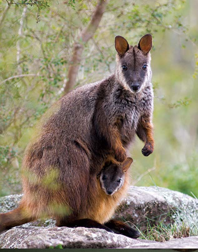 Rock Wallaby conservation index.jpg