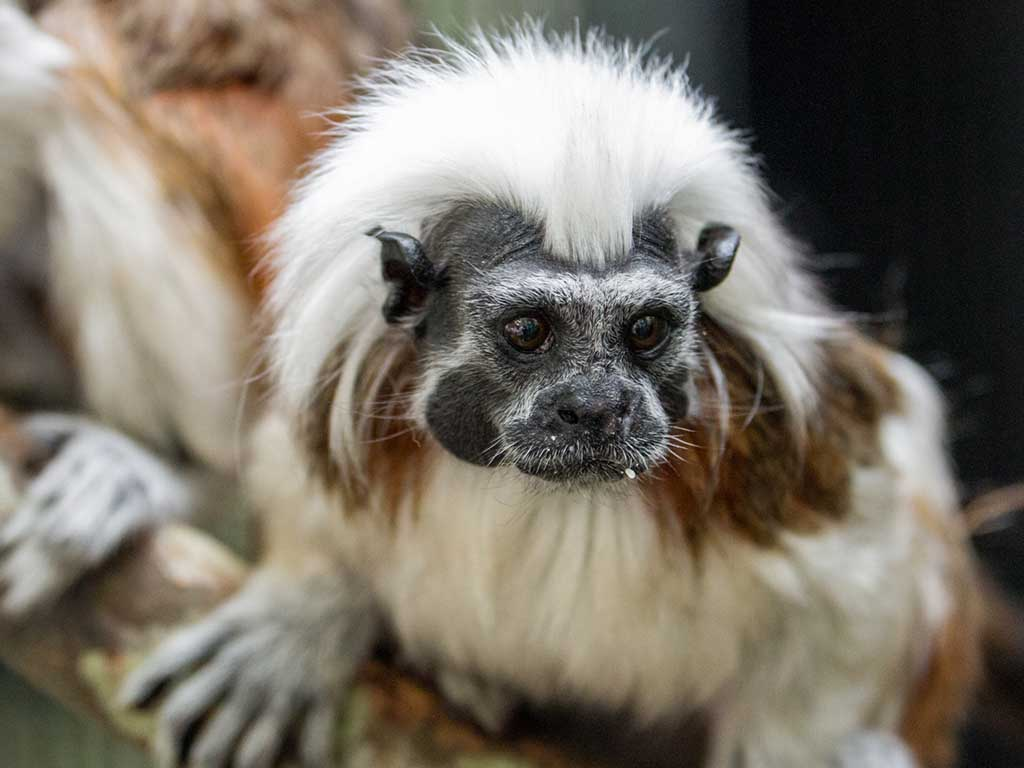 Cotton_top_tamarin_mobile1_1024x768.jpg