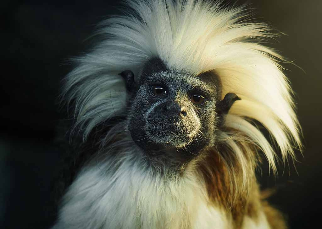 tamarin_monkey_mobile_1_1024x730.jpg